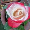 バラの「ノスタルジー」が咲いたよ!