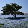 ネモフィラに染められた青い丘と澄んだ青い空 はとバス「ひたち海浜公園&あしかがフラワーパーク」