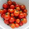 トマトの収穫が始まりました。
