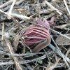 ワタナベソウなどが芽だし