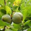 秋の気配? 渋柿の実