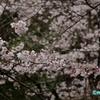 小さな公園にて ― 桜咲く11000アクセス ―