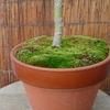鉢の苔が盛り上がってます