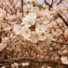 一日一撮 vol.163 八坂神社の桜