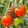 今年の夏は、トマトを栽培するど!