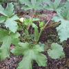 【家庭菜園】オクラ、成長中