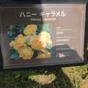 ハニーキャラメル 京成バラ園 2016/05/16