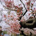 地元の桜を散歩する程度ならOKでしょうか