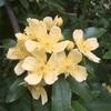 黄モッコウ 一重 バラシーズンのプレ