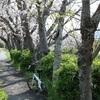 春爛漫の焼津市で、お花見ポタリングしてきた