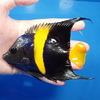 【現物1】アズファー 12.5cm± 海水魚 ヤッコ 餌付け!15時までのご注文で当日発送【ヤッコ】
