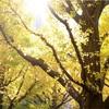 神宮外苑いちょう並木に行ってきました|いちょう並木祭りは11/17から!