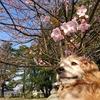 狭山公園で見た、桜とクーポンのおじさん