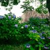 紫陽花と天守台 皇居東御苑