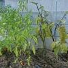 野菜の肥料と水やり