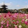 奈良の寺社 秋桜の名所「法起寺」