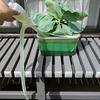 「灯油ポンプ」を使って水耕栽培装置の液肥を交換しています。あるとないとでは大違いです