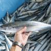 2017年9月15日 小浜漁港 お魚情報