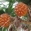 鹿児島県沖永良部島で食す、南国果物。