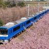 京急×河津桜