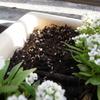 レタスの芽が出た