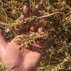 小麦の刈取り終了と大豆播種に向けて溝切りとアキアカネの羽化とカルガモの抱卵