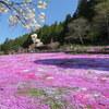 【行ってみた】岐阜県郡上市の國田家の芝桜、料金、開花情報、駐車場情報