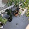 観葉植物を外に出すも、葉焼けが目立つ