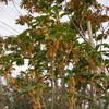 キンモクセイの香り漂うハピア