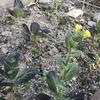 キヌサヤと紫チンゲンサイ