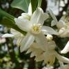 金柑の花 2013