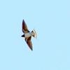 手賀沼上空を飛ぶツバメ