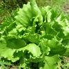 初夏の畑作業、ジャガイモ、サラダ菜、しんたまねぎ、サラダ水菜・・・