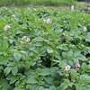 「佐久の季節便り」、「キタアカリ・ジャガイモ」の花が咲きました。