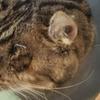 左目を摘出した猫 右目もヤバイ(閲覧注意)