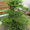 モミの木の生長