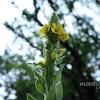 ビロードの花
