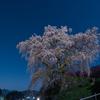 2017吉野山千本桜 4月13日下千本が見頃。上千本は今週末あたり