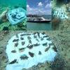 サンゴ植樹活動