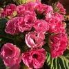 小さなピンクのバラのよう! プリムラジュリアン「イチゴのミルフィーユ」