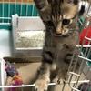 【猫ブログ】サラはよく膝の上に乗ってきてくれます。