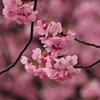 今年を振り返る「横浜緋桜」