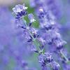 今日の誕生花「ラベンダー」紫の絨毯、北海道で一度は見たいラベンダー畑!