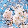 お花見で野外珈琲活動