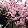 洛北の枝垂桜を楽しむ。