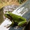 てかてかと濡れてかてかと雨蛙(あ)