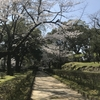 熊本城から桜のおすそわ分け ~崩れた石垣の中で見事に咲く桜~