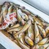 2020年2月17日 小浜漁港 お魚情報