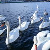 久々にモルダウ川の白鳥とご対面
