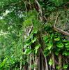 1本の木でジャングル! 〜ガジュマル、アコウ